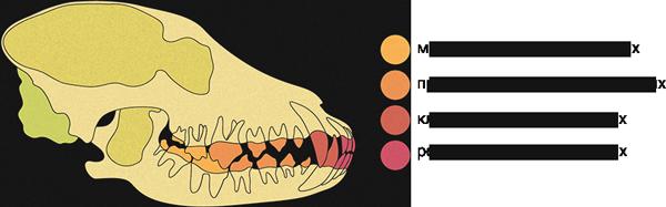 Во сколько меняются все зубы у собак